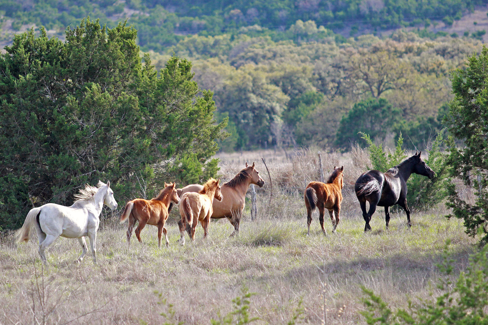Mares and foals trotting in the pasture