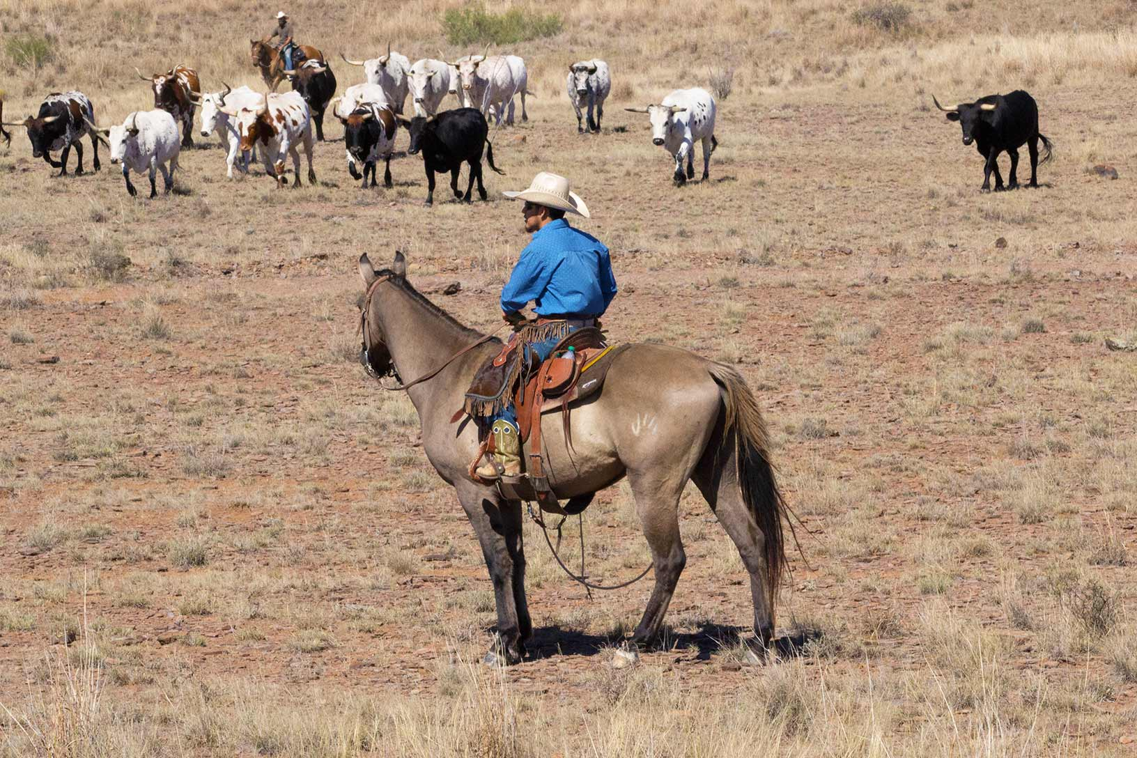 Rockafella in rough country sorting cattle