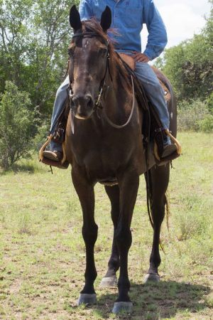 Isidro the quarter horse with a big heart
